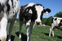 Photo of dairy cow grazing