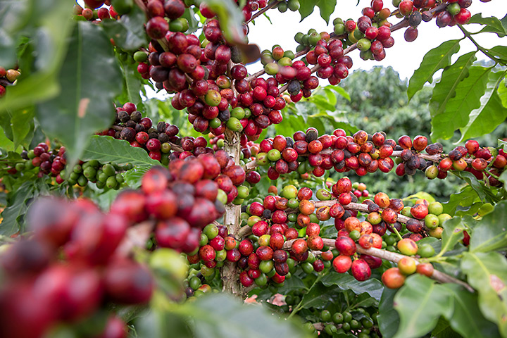 Will Coffee Production in Vietnam be Roasted by Climate Change?